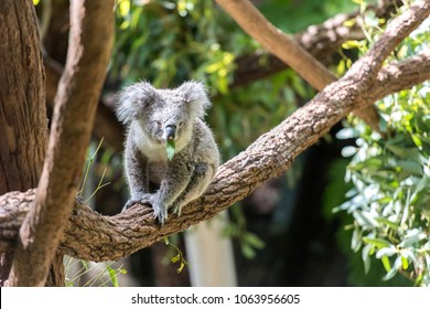 A koala was eating leaves on a branch of tree.