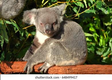 Koala in a eucalyptus