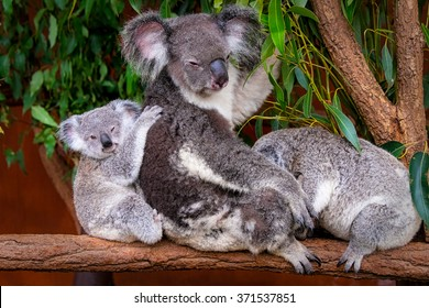 Koala Family Portrait
