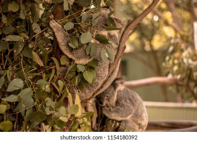 Koala / Featherdale Wildlife Park / Sydney / Australia - September 2017: Located on seven acres of land owned by Charles and Marjorie Wigg, which they purchased in 1953.