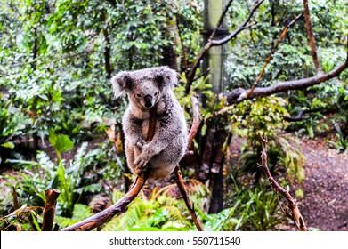Koala In The Forest