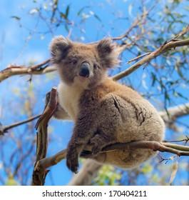 Koala in Great Ocean Road, Victoria, Australia