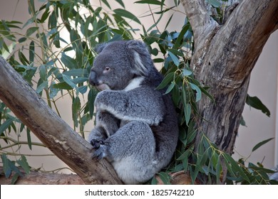 the koala is grey and white marsupial with fluffy ears