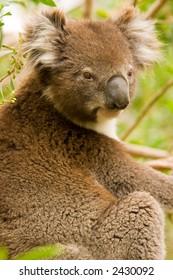 Koala Gumtree