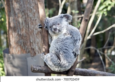 the koala is having a scratch on his back