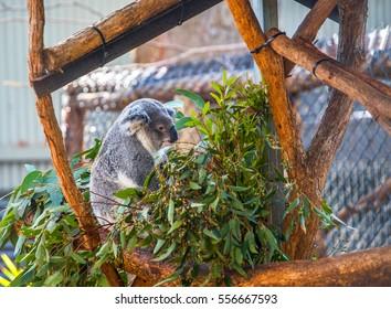 Koala at the Koala Hospital in Port Macquarie, Australia