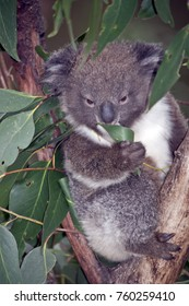 the koala joey is in a gum tree eating leaves