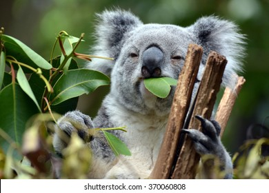 Koala at Lone Pine Koala Sanctuary Brisbane