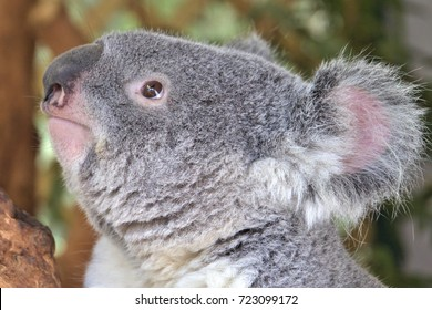 Koala looking up