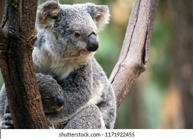 the koala is looking after her joey in the fork of a tree