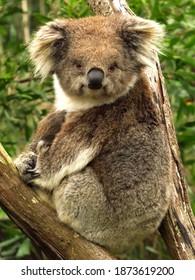 Koala looking at camera with joey