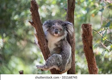 Koala looking into camera.