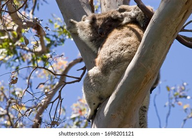 Koala mother with baby, Otway National Park, Victoria, AUS