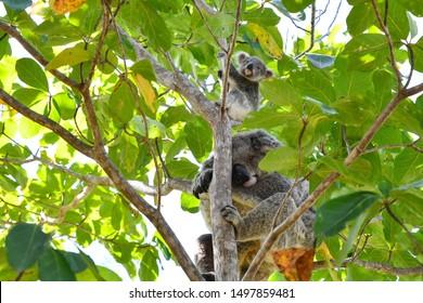 Koala mum and her cub in a tree