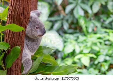 koala in northern Queensland, Australia