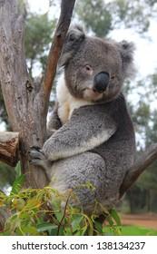 Koala on an eucalyptus