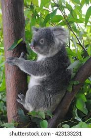 Koala on eucalyptus tree.