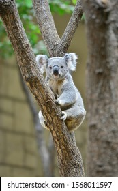 A koala on the tree in Australia.