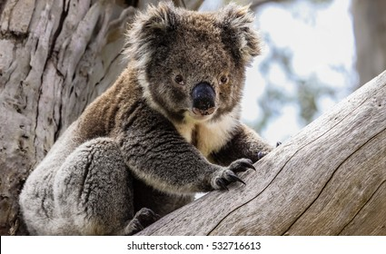 Koala in the Otway National Park Australia