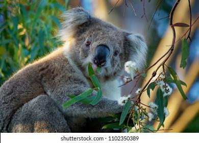 Koala - Phascolarctos cinereus on the tree in Australia, eating, climbing on eucaluptus.