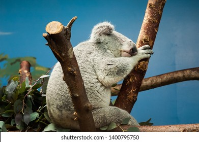 The koala (Phascolarctos cinereus, or, inaccurately, koala bear)
