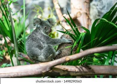 The koala, Phascolarctos cinereus, or, inaccurately, koala bear is an arboreal herbivorous marsupial native to Australia
