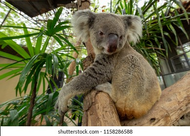 Koala Pottrait on the tree
