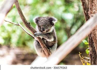 Koala relaxing in a tree, Australia.