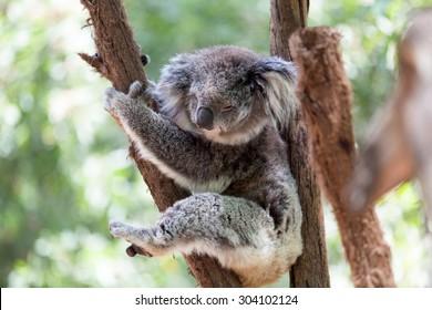 Koala relaxing in a tree, Australia. Close-up. Koala Bear in zoo.