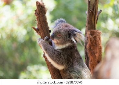 Koala relaxing in a tree, Australia. Close-up.