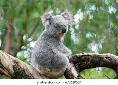 Koala relaxing in a tree in Perth, Australia.