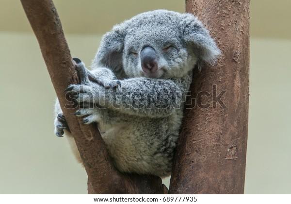 koala se repose et dort sur son arbre avec un joli sourire