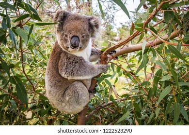 Koala sits in a tree and looks into the camera