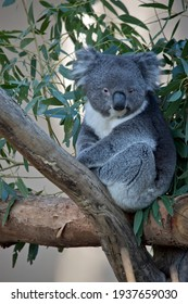 the koala is sitting in the fork of a tree