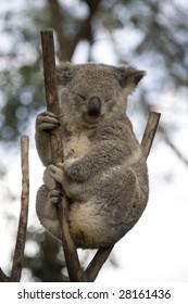 koala sitting on a branch facing right
