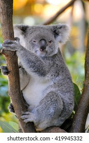 Koala sitting on eucalyptus tree.