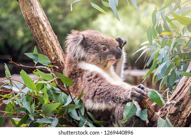 Koala sitting on a tree, South Australia