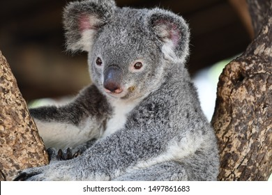 koala sitting in a trap and staring on you