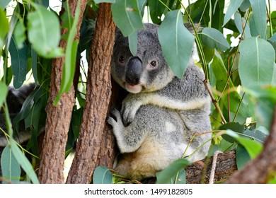 Koala sitting in a tree