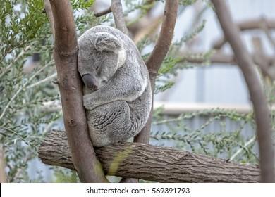 Koala Sleeping in a Eucalyptus Tree