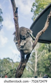 A Koala sleeping on tree