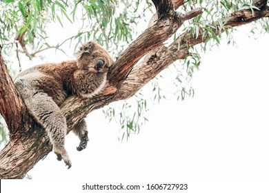A koala sleeping siesta on a branch close to eucalyptus trees. Due to the Australian fires of 2019 this animal is  in risk to become functionally extinct. Horizontal picture. Copy space. Animal lover