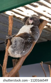 Koala sleeping in a tree, Sydney, NSW, Australia