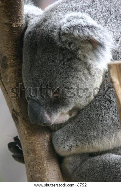 koala snoozing in a tree
