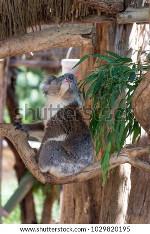 Koala South Australia Wildlife Park Stock Photo Edit Now