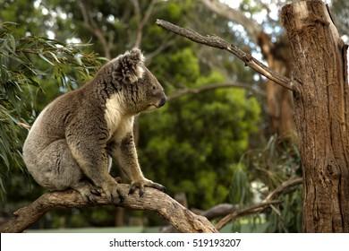 Koala standing in a tree