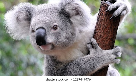 Koala surprised look