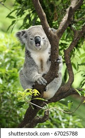 Koala taking it easy