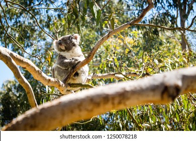 Koala Taking in The Sun at the Koala Conservation Centre on Phillip Island in Australia.  This shot was taken with my Canon SL2 with a 150mm telephoto lens.