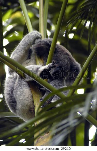 Koala in tree.